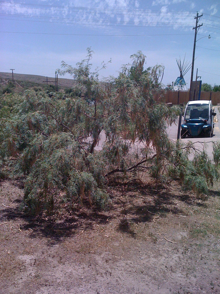 Mesquiteflour Harvest