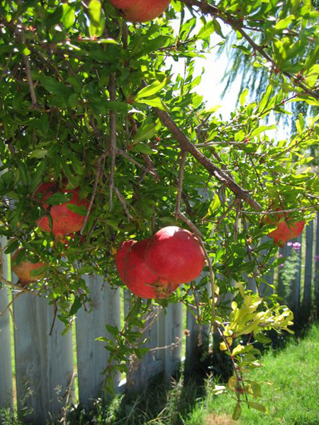 Pomegranate Tree Main2