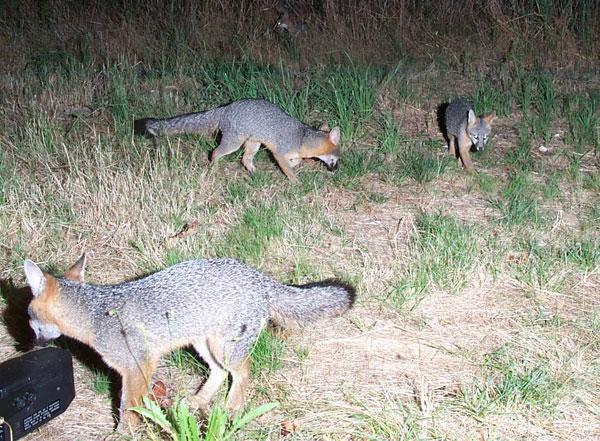 flashback-wildlife-camera-foxes.jpg