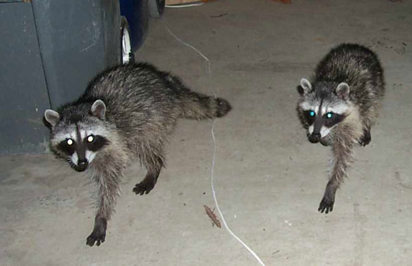 flashback-wildlife-camera-raccoons.jpg
