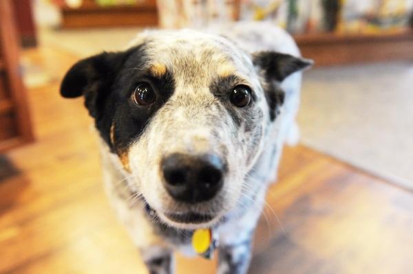 beagle_dog.jpg