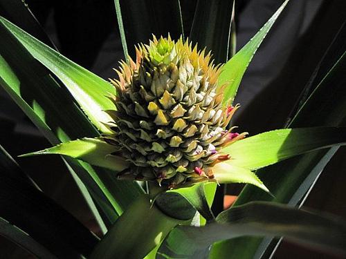 Pineapple-10.jpg