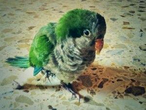 pato-bird