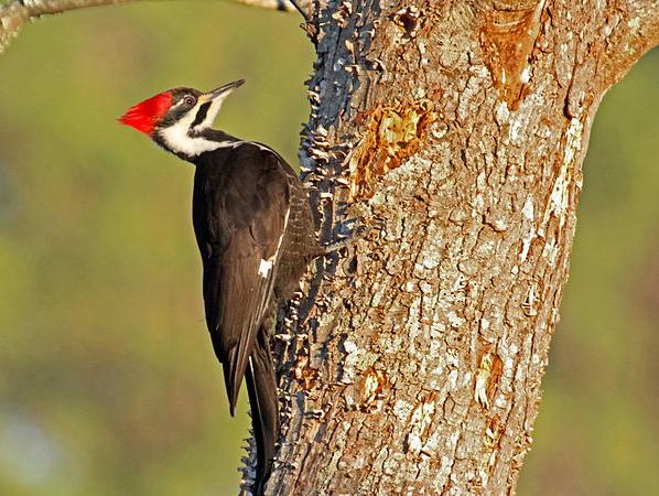 Pileated Woodpecker. Photo by Dick Daniels.