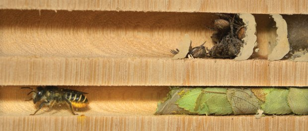 M39-leafcutter-bee-nest-Cruickshank