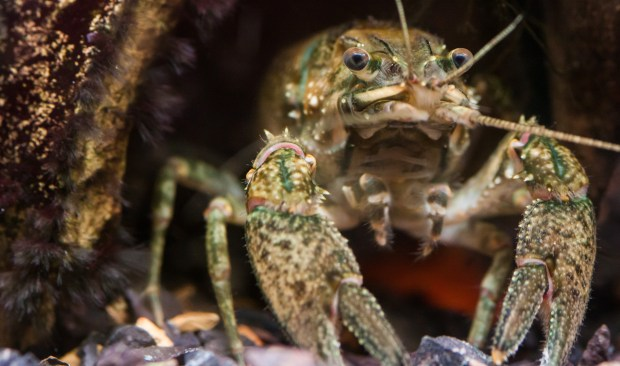 Crayfish. Photo by Bee Collins.