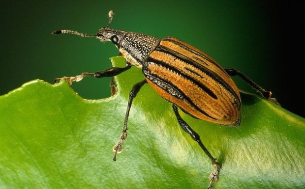 The adult citrus root weevils feed citrus leaves, but the larvae do the most damage. USDA photo by Keith Weller.
