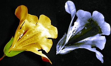 Mimulus flower photographed in visible light (left) and ultraviolet light (right) showing a nectar guide visible to bees but not to humans. Photo by Plantsurfer, CC-by-SA.