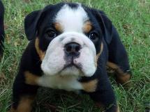East Texas English Bulldogs Bulldog Breeder Winnsboro - Year of