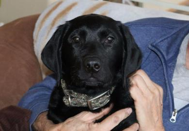 Black Labrador Puppies For Sale In Helena Mt
