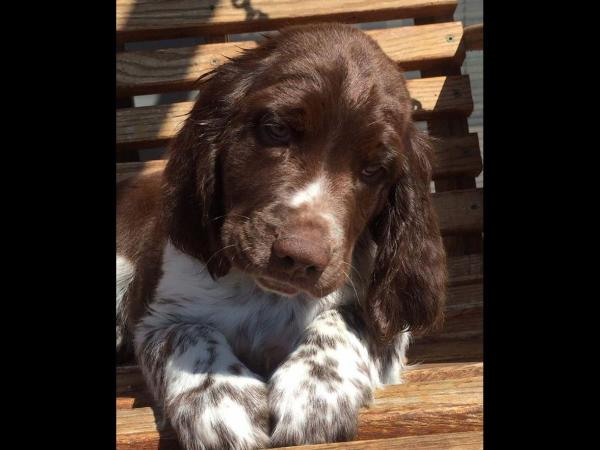 English Springer Spaniel Roan - Exploring Mars