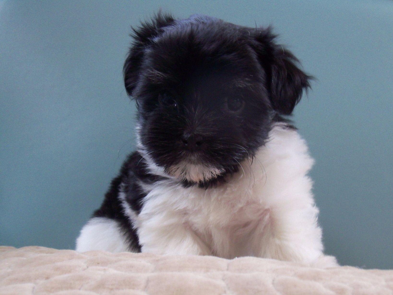 Yuppy Puppy Havanese