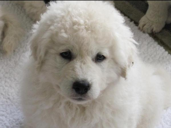 20 Kuvasz Pictures And Ideas On Stem Education Caucus