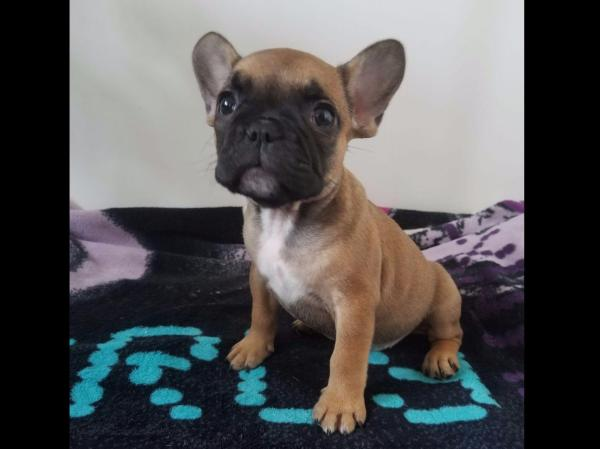 Teacup French Bulldog Puppies Akc - Year of Clean Water