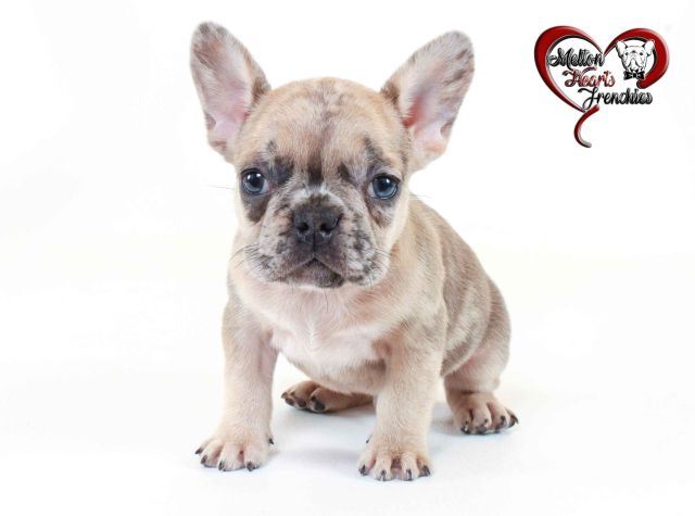 melton hearts frenchies - french bulldog puppies for sale - born on