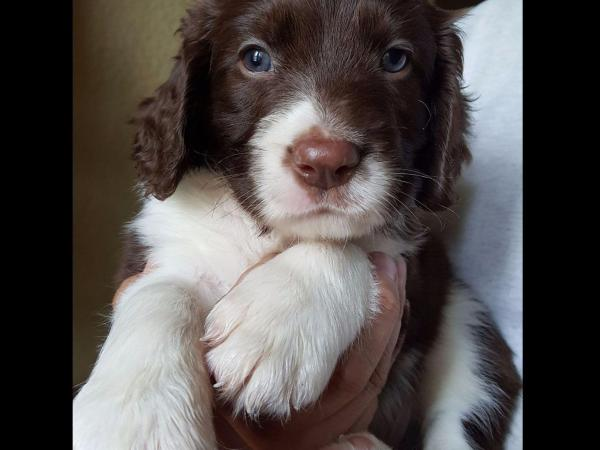 English Springer Spaniel Puppies Texas - Year of Clean Water