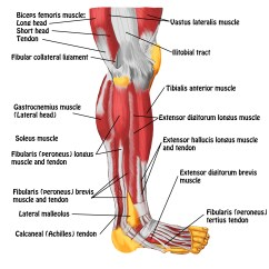 Medial Lower Leg Muscles Diagram Information Flow Chart Smrt And Foot Massage Magazine