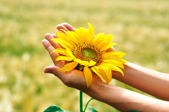 The Big Beautiful Benefits of Sunflower Oil  MASSAGE