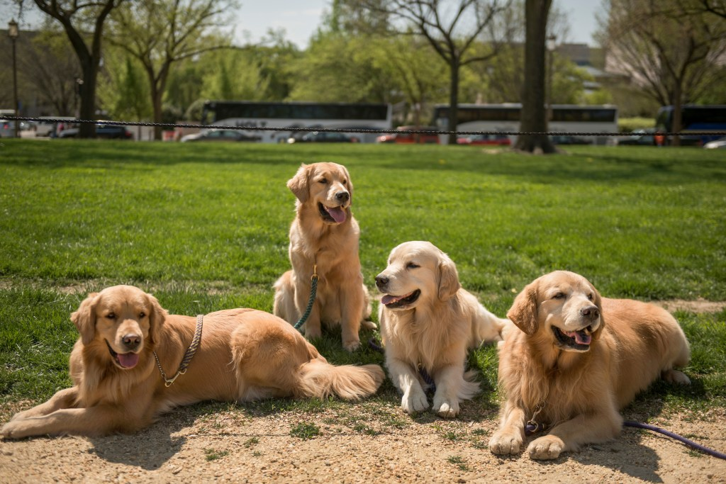 UNITED STATES - APRIL 14: From left, Annie, Gabby, Henry, and Eddie, Golden Retrievers from Long Island, N.Y., take a break on the Mall on April 14, 2017. (Photo By Tom Williams/CQ Roll Call)