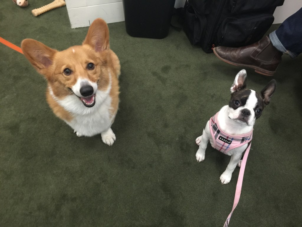 Charlie, left, and Tilly in North Carolina Sen. Thom Tillis' office know which Capitol Police officers carry dog treats. (Courtesy Tillis' office)