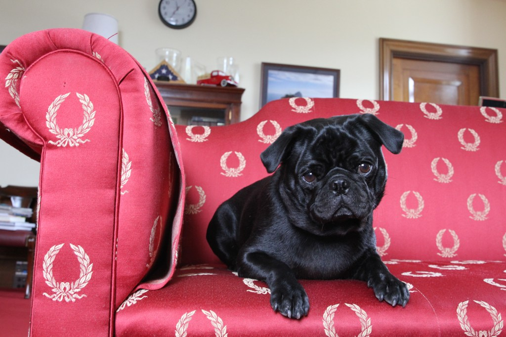 Ranger spends time on Sen. Ron Wyden's couch. (Courtesy of Wyden's office)