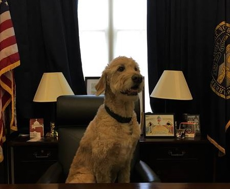 Wilson, a 10 year old Goldendoodle, has been with Rep. Tom O'Halleran's office since Day One (Jan. 2017). (Courtesy of O'Halleran's office)