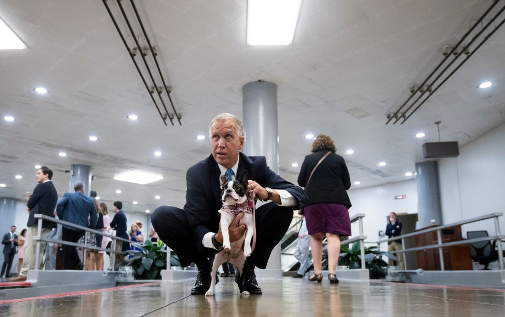 Sen. Thom Tillis, R-N.C., campaigns for votes for his boston terrier