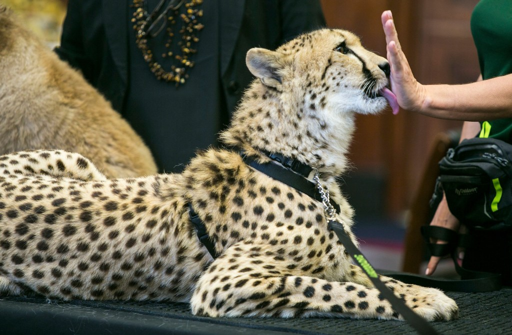 UNITED STATES - APRIL 25 - Adaeze, a one and a half year old Cheetah, from the Leo Zoo, in Greenwich, Ct., licks a hand following a briefing on