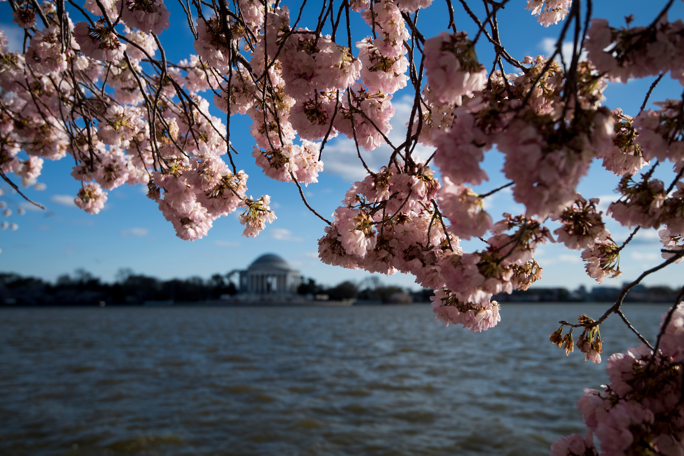 Cherry blossoms in winter? Global warming could make it happen - Roll Call