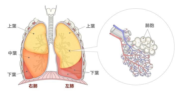 [醫師監修・作成]肺扁平上皮がんとは? | MEDLEY(メドレー)