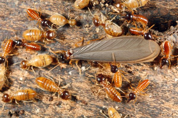 Winged Termites And Flying Ants - Difference