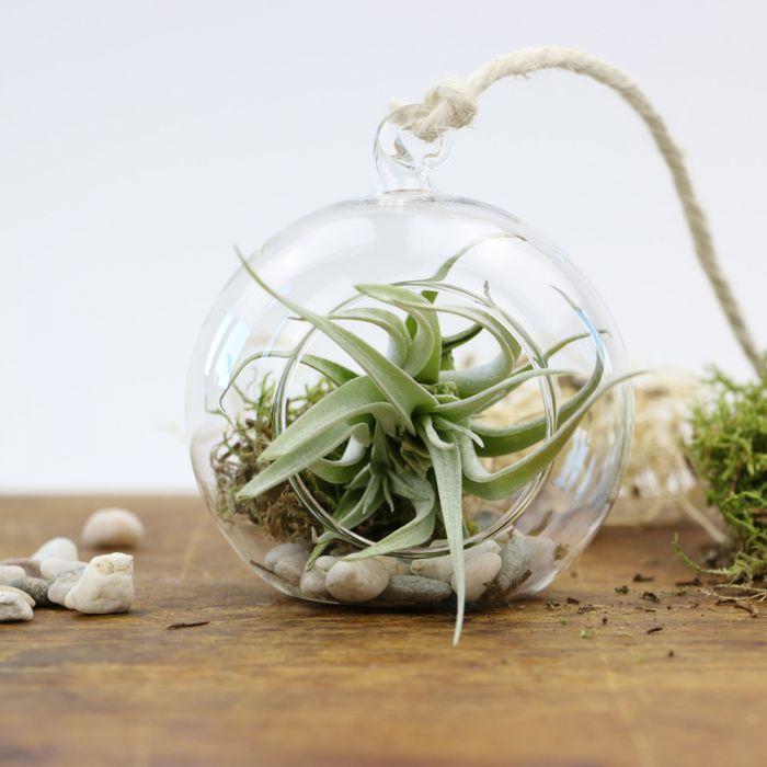 Hngende Luftpflanze im Glas  rund  tolles Geschenk zum