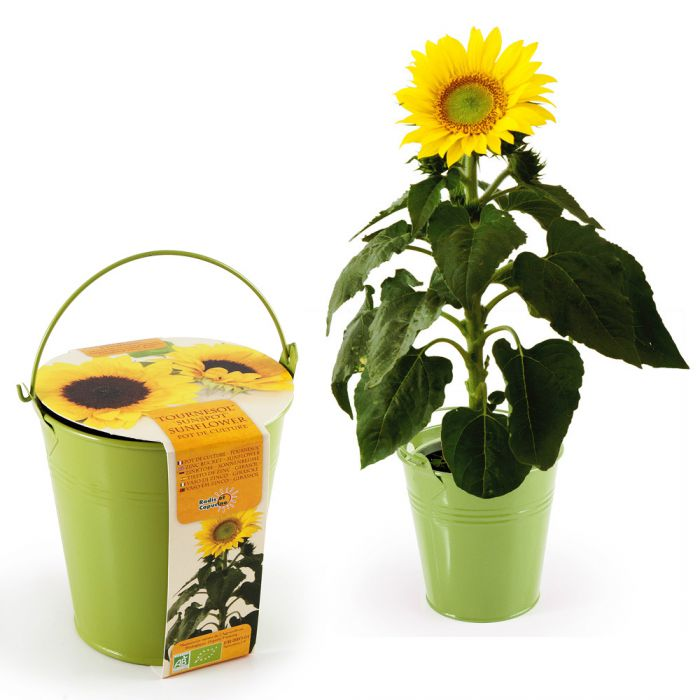 Sonnenblume im Zinktopf  hbsche Pflanze in