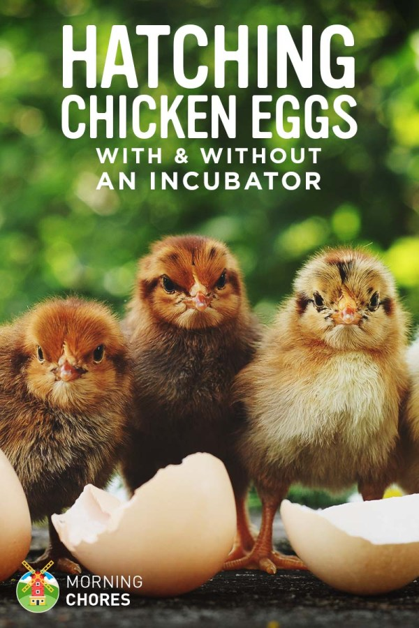 How to Hatch Chicken Eggs without Incubator