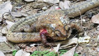 A small-banded kukri snake with its head inserted through the right side of the abdomen of an Asian black-spotted toad, in order to extract and eat the organs. Tissue of a collapsed lung (above, left), and possibly fat tissue, is covered by clear liquid that foams as it mixes with air bubbles from the lung. The upper part of the front leg is likewise covered by foaming blood, mixed with air bubbles from the collapsed lung.