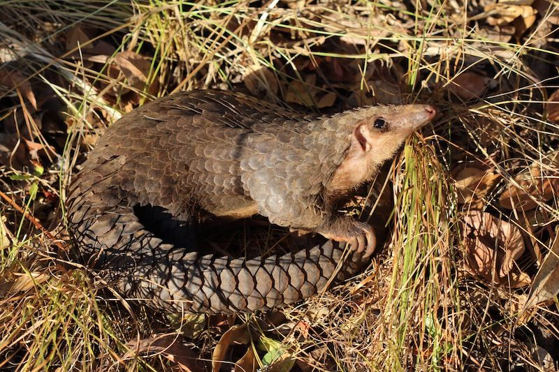facts about pangolins live