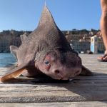 Bizarre pig-faced shark found dead in the Mediterranean Sea. Is it real? 💥😭😭💥