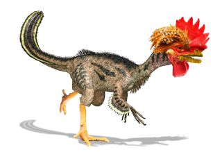 dino chicken gets one