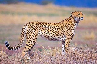 cheetahs the fastest land