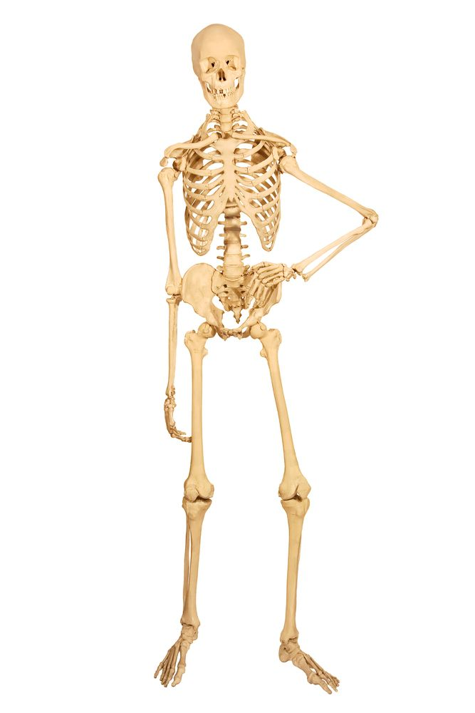 How Many Bones Does A Baby Have : bones, Surprising, Facts, About, Skeletal, System, Science