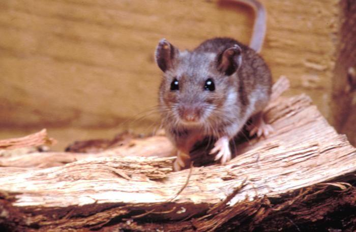 Arizona Woman Dies from Rare Rodent-Borne Virus | Live Science