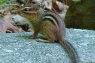 chipmunk facts live science