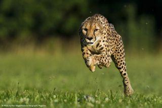 11 year old cheetah
