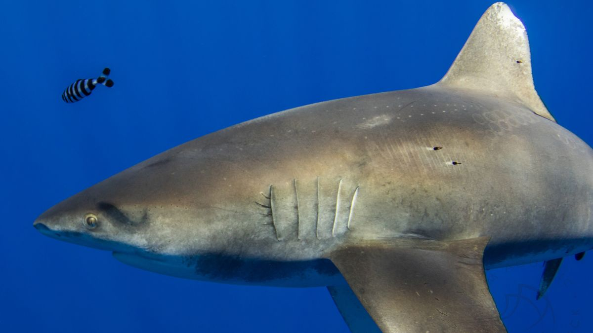 Mysterious scars on Hawaiian shark could possibly be signal of