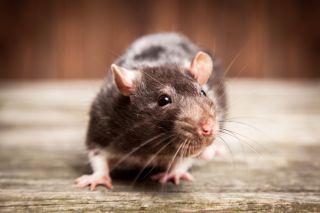 Unusual Rat Virus Strikes 8 People in Illinois and Wisconsin ...