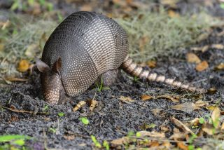 armadillos carrying leprosy bacteria