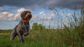 A hunting dog pointing a pheasant.