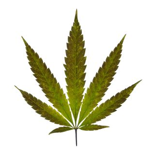 Marijuana: Facts about Cannabis | Live Science