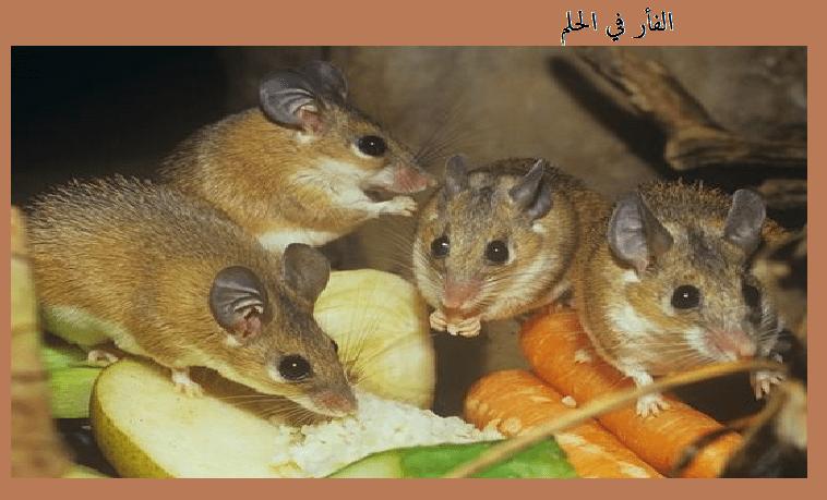 الفأر في الحلم تفسير حلم الفئران موسوعة