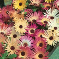 Mesembryanthemum Livingstone Daisy Mixed Seeds from Mr ...